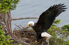 Eagle Arriving calvo en la jerarquía, con las alas abiertas Columbia Británica, Canadá imagenes de archivo
