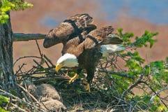Eagle Arriving calvo en la jerarquía, con las alas abiertas Columbia Británica, Canadá fotografía de archivo