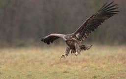 Eagle atado blanco Imagen de archivo libre de regalías