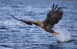 Eagle atado blanco foto de archivo libre de regalías