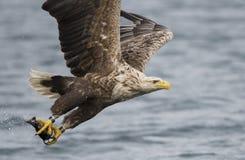 Eagle atado blanco imagenes de archivo