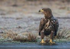 Eagle atado branco Fotos de Stock Royalty Free