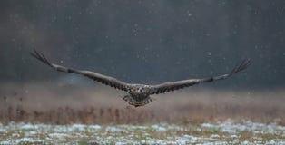 Eagle atado branco Imagens de Stock Royalty Free
