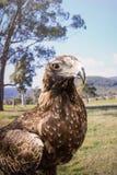 Eagle atado cunha Fotos de Stock