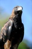 Eagle atado cunha Fotografia de Stock Royalty Free
