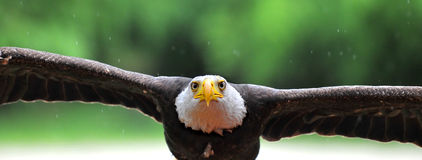 Eagle Attack. Bald Eagle head flying in to the attack with rfightening expression in its eyes Stock Image