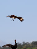 Eagle attack. The eagle attacks the cormorant Royalty Free Stock Images