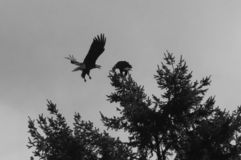 Eagle attack in B&W. royalty free stock photography