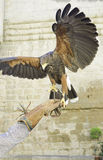Eagle in attack. Eagle with bright plumage in training, animals and nature Royalty Free Stock Image