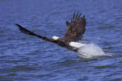 Eagle attackes its prey. Eagle splashes talons into lake at it grabs for a fish. eagle spread wing with big splash of water stock photography