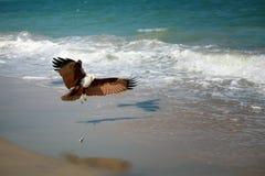 Eagle attacking prey on the seashore royalty free stock photo