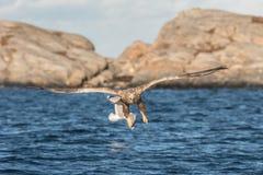 Eagle attacking prey - 1 Royalty Free Stock Photo