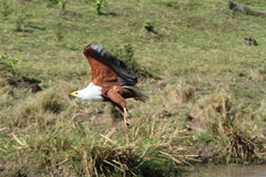 Eagle au-dessus de Mara Photographie stock