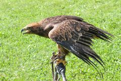 Eagle au-dessus du chevalet du fauconnier Photographie stock libre de droits