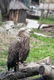 Eagle au zoo Photographie stock libre de droits