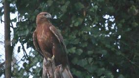 Eagle auf Baum stock video footage