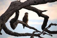 Eagle auf dem Baumast vor Sturm Stockbild