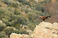 Eagle auf dem Felsen in den Bergen Stockfoto