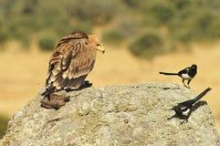 Eagle auf dem Felsen mit einer Verdammung und Elstern Stockbilder