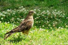 Eagle auf dem Gras Lizenzfreie Stockbilder