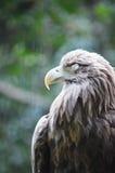 Eagle auf der Niederlassung Stockfotografie