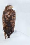 Eagle auf der Schneewehe Lizenzfreies Stockfoto