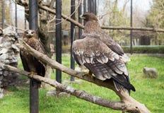 Eagle auf einem Baum Lizenzfreies Stockbild