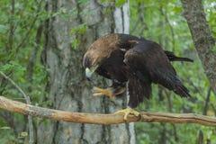 Eagle auf einem Baum im Wald Lizenzfreie Stockfotos