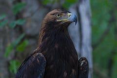 Eagle auf einem Baum im Wald Stockbilder