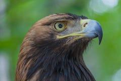 Eagle auf einem Baum im Wald Stockfoto