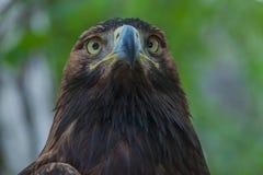 Eagle auf einem Baum im Wald Lizenzfreie Stockfotografie