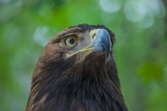 Eagle auf einem Baum im Wald Stockbild