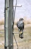Eagle auf einem Pfosten Lizenzfreie Stockfotos