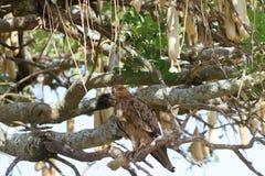 Eagle auf einer Niederlassung eines Wurstbaums Stockfotos