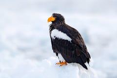 Eagle auf Eis Winter Japan mit Schnee Aktions-Verhaltenszene der wild lebenden Tiere von der Natur Widlife Japan Steller-` s Seea Stockfotografie