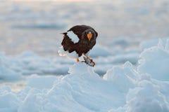 Eagle auf Eis Winter Japan mit Schnee Schöner Steller-` s Seeadler, Haliaeetus pelagicus, Vogel mit Fangfischen, mit weißem Schne Stockbilder