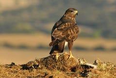 Eagle auf Opfer auf dem Gebiet Stockbilder