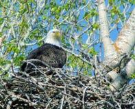 Eagle auf seinem Nest Lizenzfreie Stockbilder