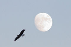 Eagle auf Vollmond Stockfotos