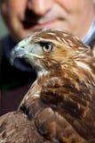 Eagle av den röda svansen (Buteojamaicensis) och falkeneraren Royaltyfri Bild