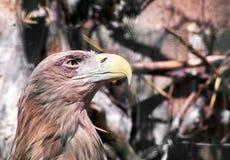 Eagle avec le bec jaune Photo libre de droits