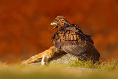 Eagle avec le renard de crochet Eagle d'or, chrysaetos d'Aquila, oiseau de proie avec le renard rouge de mise à mort sur la pierr Images stock