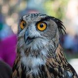 Eagle-búho de Buff Eurasian, tema de los pájaros imágenes de archivo libres de regalías