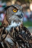 Eagle-búho de Buff Eurasian, tema de los pájaros fotos de archivo libres de regalías
