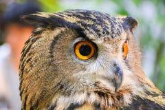Eagle-búho eurasiático Foto de archivo libre de regalías