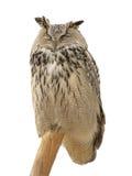 Eagle-búho eurasiático Fotos de archivo libres de regalías