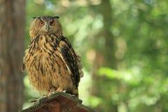 Eagle-búho eurasiático Fotografía de archivo