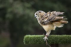 Eagle-búho indio imágenes de archivo libres de regalías