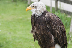 Eagle. Bald eagle in a nature park Stock Photo