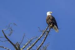Eagle in barren tree. Stock Image